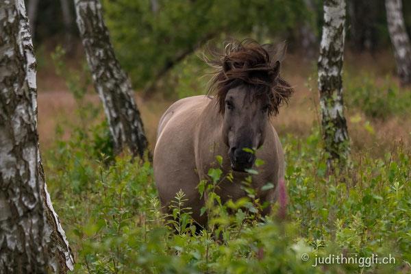 die Konik's leben halbwild im Daubaner Wald , zwischen Wölfen und Wildschweinen