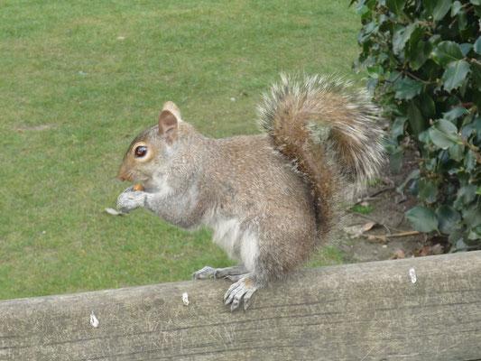 London in 3 Tagen - Sehenswürdigkeiten: Eichhörnchen im Kensington Garden