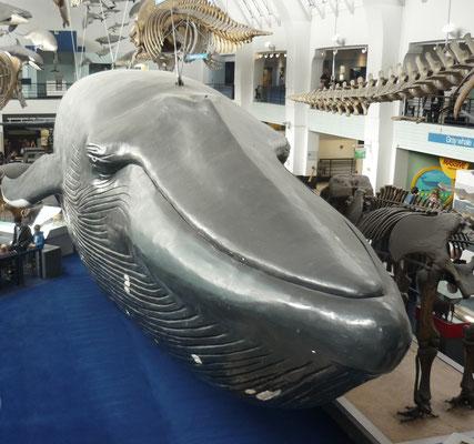 London in 3 Tagen - Sehenswürdigkeiten: Blauwal im Natural History Museum