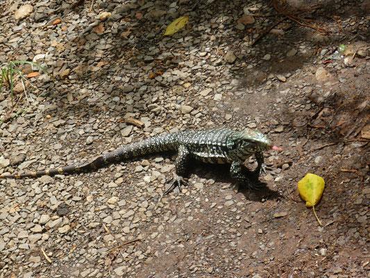 Iguazu Wasserfälle Tiere - Echsen