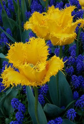 Keukenhof Holland 2019 - Tulpen
