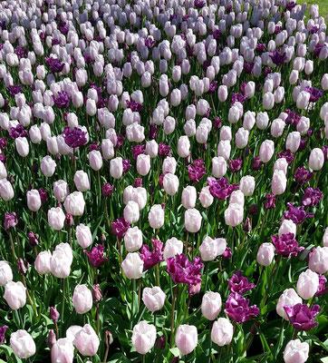 Keukenhof Holland 2019 -Tulpen