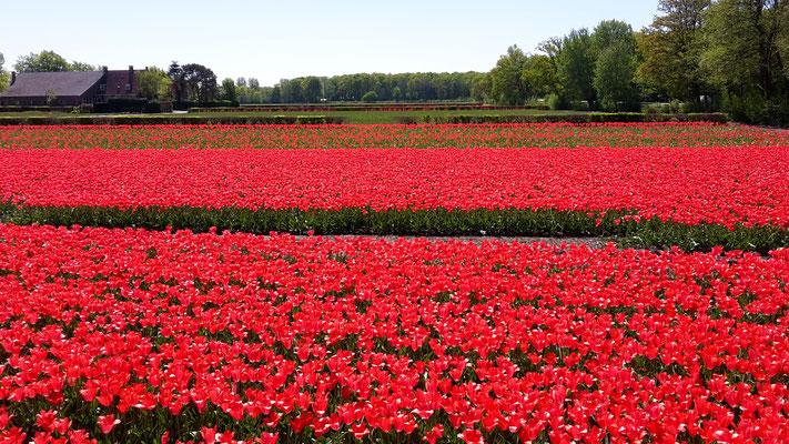 Keukenhof Holland 2019 - Tulpenfelder