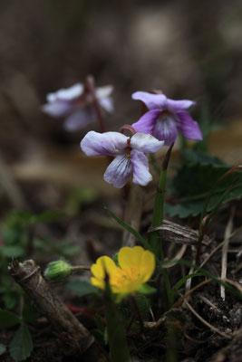 シハイスミレ(紫背菫)