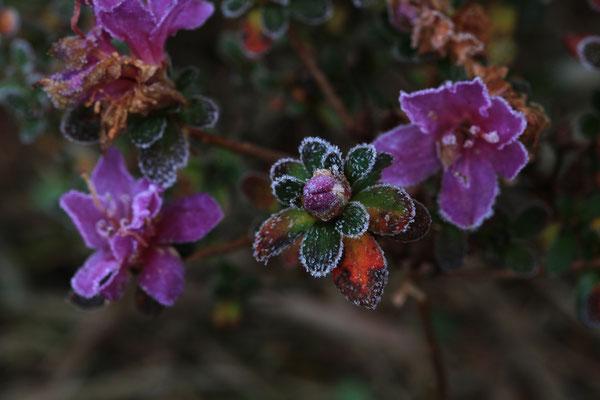 初霜を浴びた季節外れのミヤマキリシマⅡ