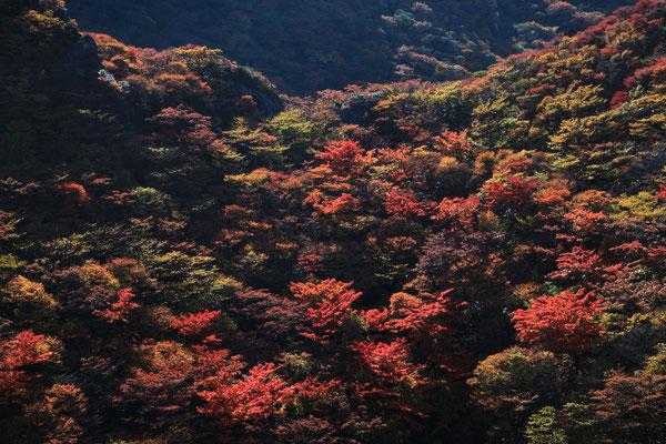 小鍋の紅葉