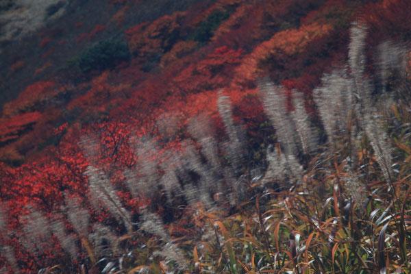 すすきと紅葉    ※すすきを風に揺らしてみました。