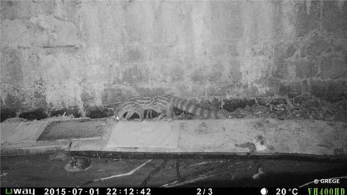 Genette reniflant notre capteur d'empreintes
