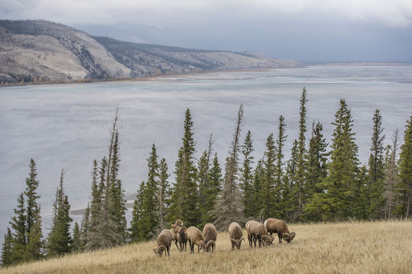 Dickhornschafe, Jasper National Park