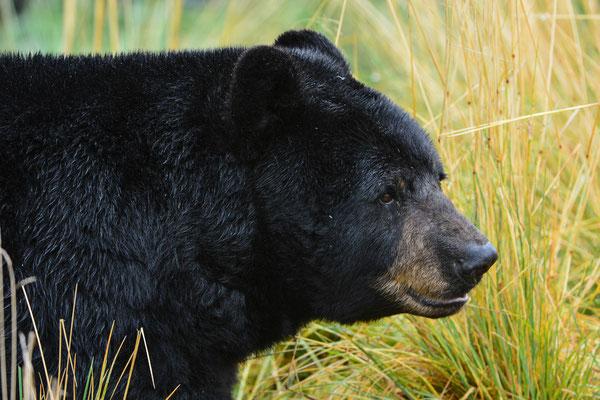 Schwarzbär, Alaska