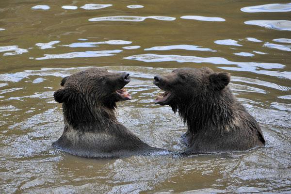 Braunbären, Nationalpark Bayerischer Wald