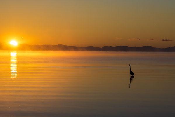 Fischreiher im Sonnenaufgang