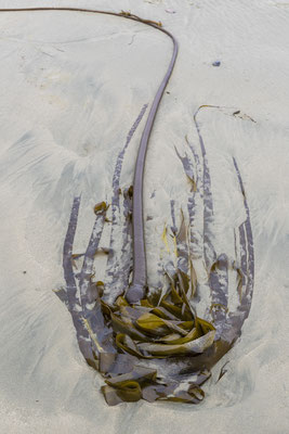 Kelp, Long Beach, Tofino