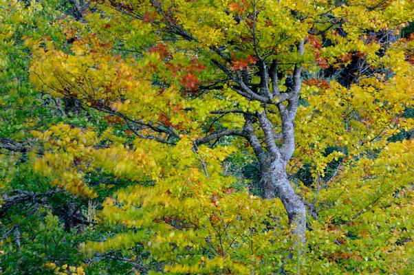Buche im Herbstwind
