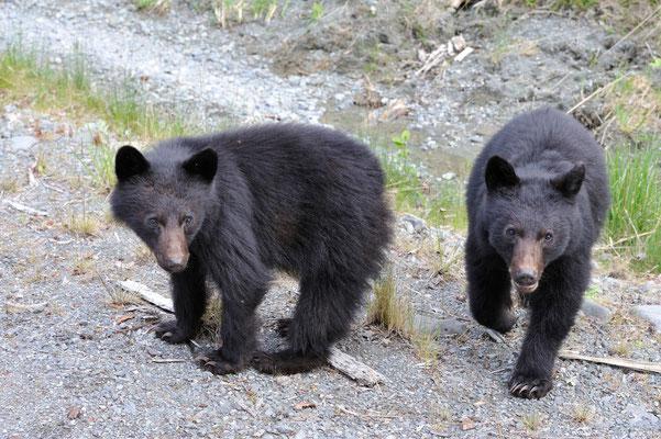 Junge Schwarzbären, Vancouver Island