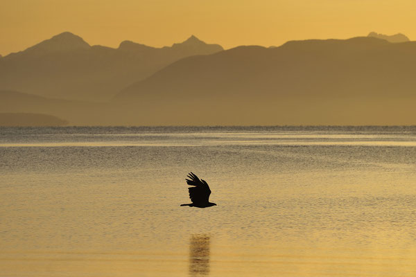 Seeadler bei Sonnenaufgang