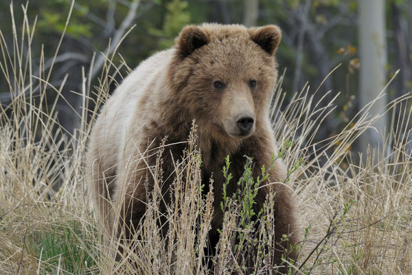 Grizzly, Yukon