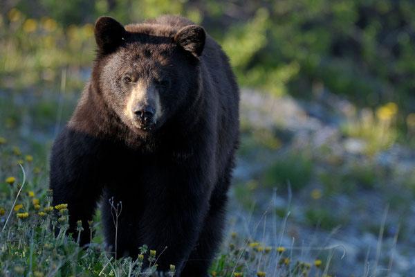 Schwarzbär, Yukon