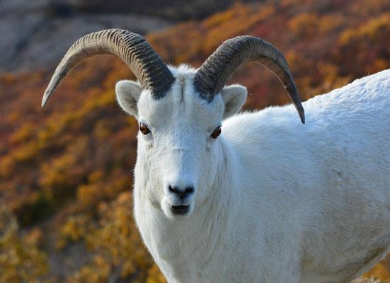 Dallschaf, Denali Nationalpark