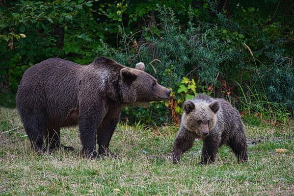 Braunbären, Transfagarasan