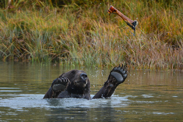 Braunbär, Alaska