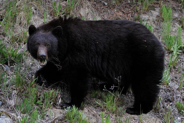 Schwarzbär, British Columbia