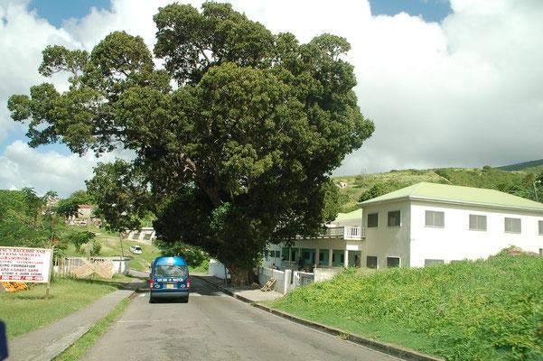 """""""Half Way Tree""""  steht auf der Westseite, etwa auf Inselmitte und ist nachweislich über 200 Jahre alt."""