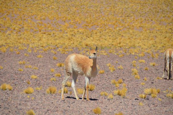 Wilde Lamas trifft man hier in Gruppen von meist 7 - 10 Tieren