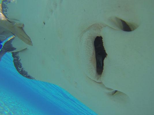 Da die Augen auf der Oberseite, sehen sie nicht was sie fressen bzw. einsaugen. Und keine bösen Zähne.