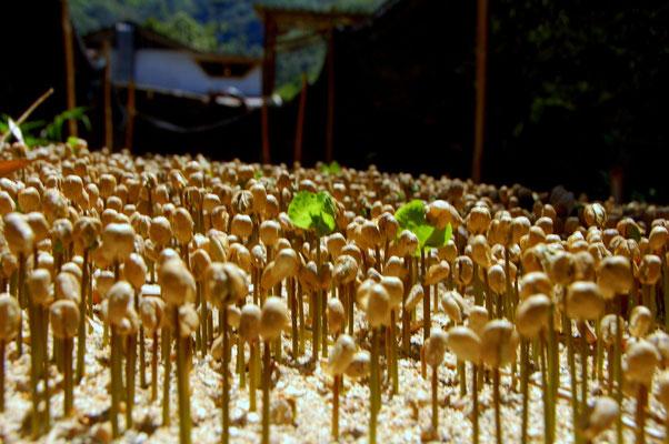 Aus gekeimten Kaffeebohnen werden neue Sträucher