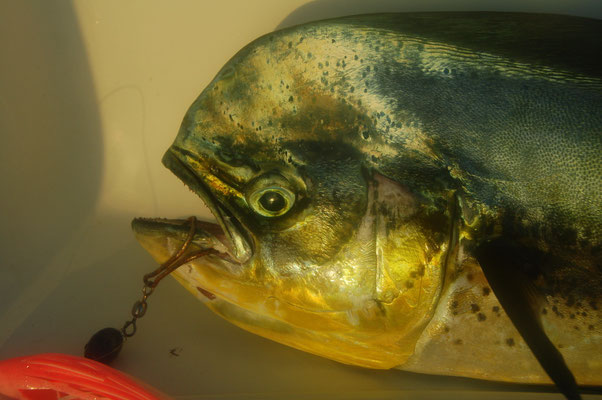 Ein kapitaler Mahi Mahi, Frischfisch für die nächsten Tage.