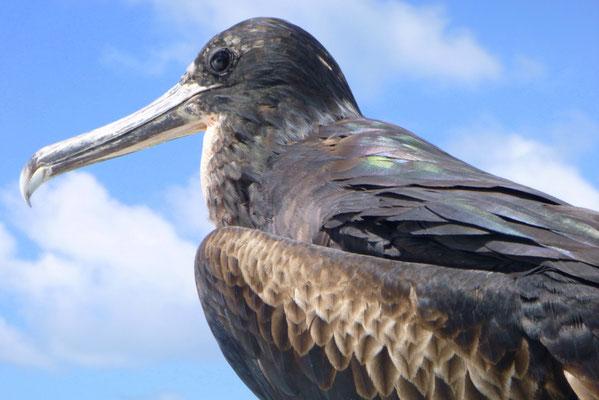 ...und ein älteres Fregattvogelmännchen