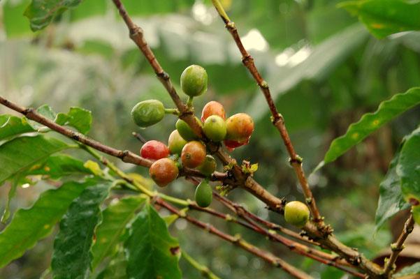 Kaffeeanbau ist ein aufwändiger Job....