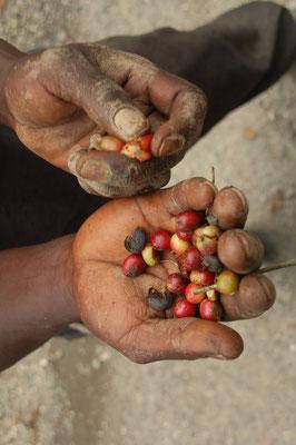 ...wird auch Kaffee angebaut. An den Händen der Kaffeepflanzer erkennt man die Strapazen....