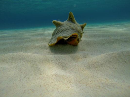 """Conches """"rennen"""" über die Sandbank ( ca. 3 m/h , nicht zu verwechseln mit km/h )"""