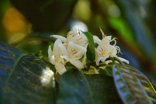 Kaffeblüte