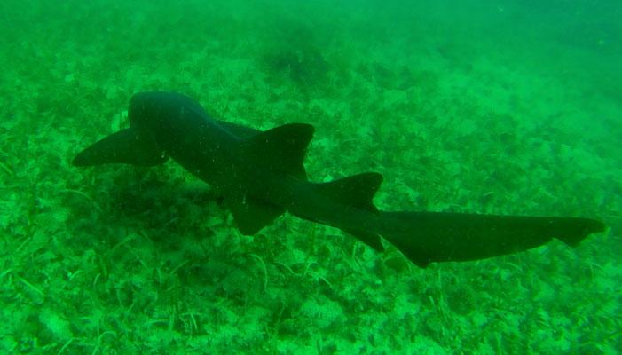 Ammenhaie sind absolut ungefährlich und leider sehr scheu