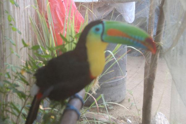 Statt Kanarienvögeln hält man hier einen Tucan
