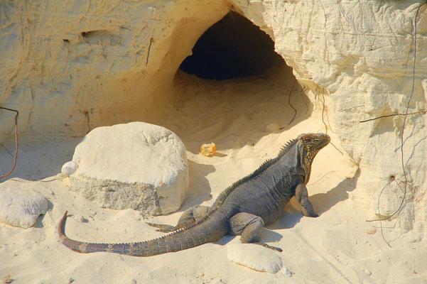 Iguanas gibt es massenhaft