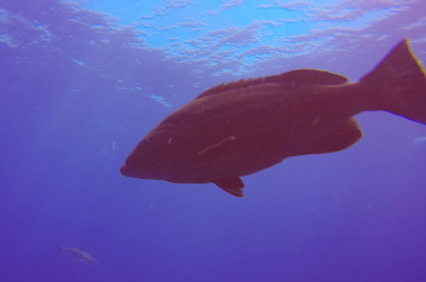 Zackenbarsche werden bis zu 250kg schwer und sind überhaupt nicht scheu