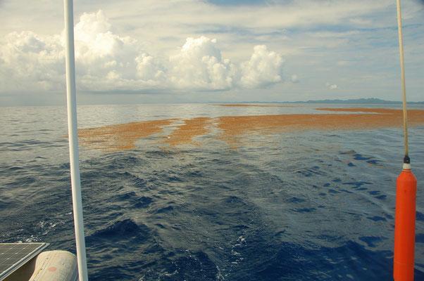 Seetangfeld auf See