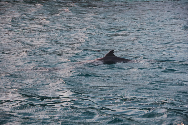 Delfine in der engen Bucht sind nicht selten