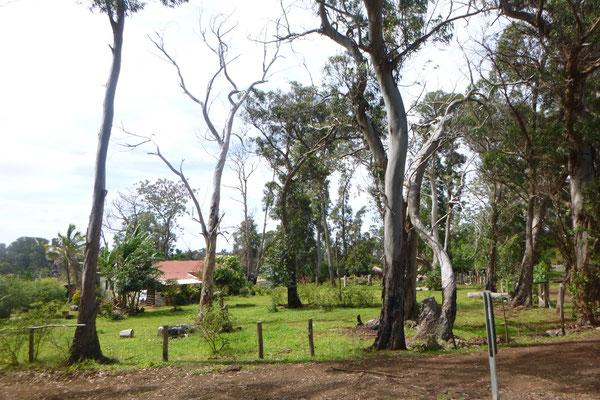Eukalyptoswald im Inselinneren bei MAUNGA O TUÚ