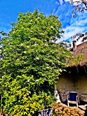 Gerhard Meier Niederbipp alias Amrain – Garten Sitzplatz (Schreibplatz von Gerhard Meier) am Gerhard Meier-Weg – mit Eberesche (Vogelbeerbaum) – Die Eberesche, der Baum von Gottfried Benn – Foto © Pedro Meier Multimedia Artist