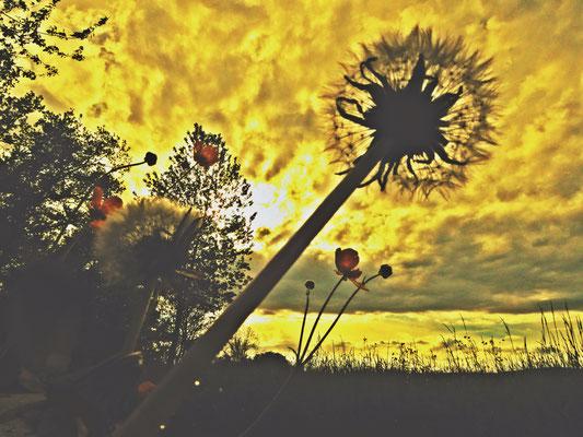 Abend mit Wiese und Löwenzahn – Pedro Meier Atelier-Garten – Gerhard Meier-Weg Niederbipp – Foto © Pedro Meier / ProLitteris – Multimedia Artist (Atelier am Golf von Siam Thailand)