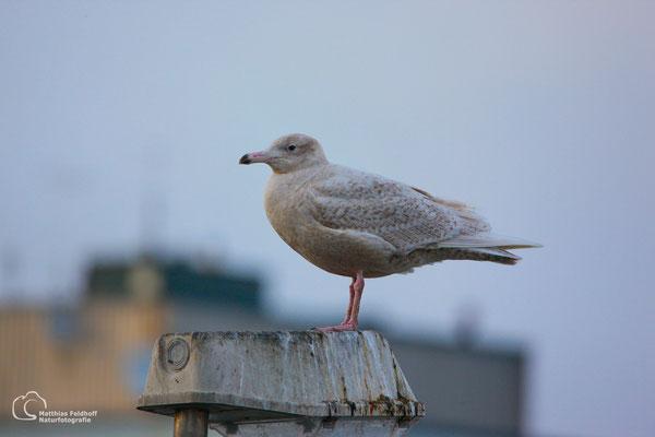 Eismöwe - Cuxhaven
