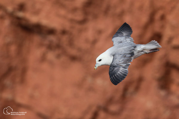 Eissturmvogel - Insel Helgoland