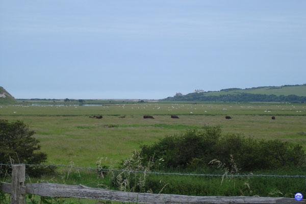 Moutons et vaches dans le Seven Sisters Country Park (© lebateaublog 2012)