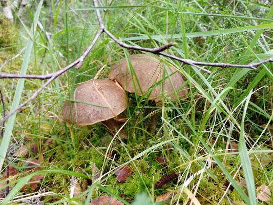 Unzählige Pilze unterwegs, Birkennpilze, Pfifferlinge, Täublinge,...