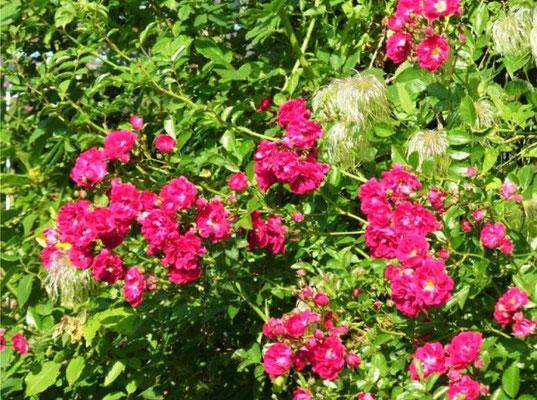 Klettergerüst Rosen : Rosen ii taglilien im wesertals webseite!